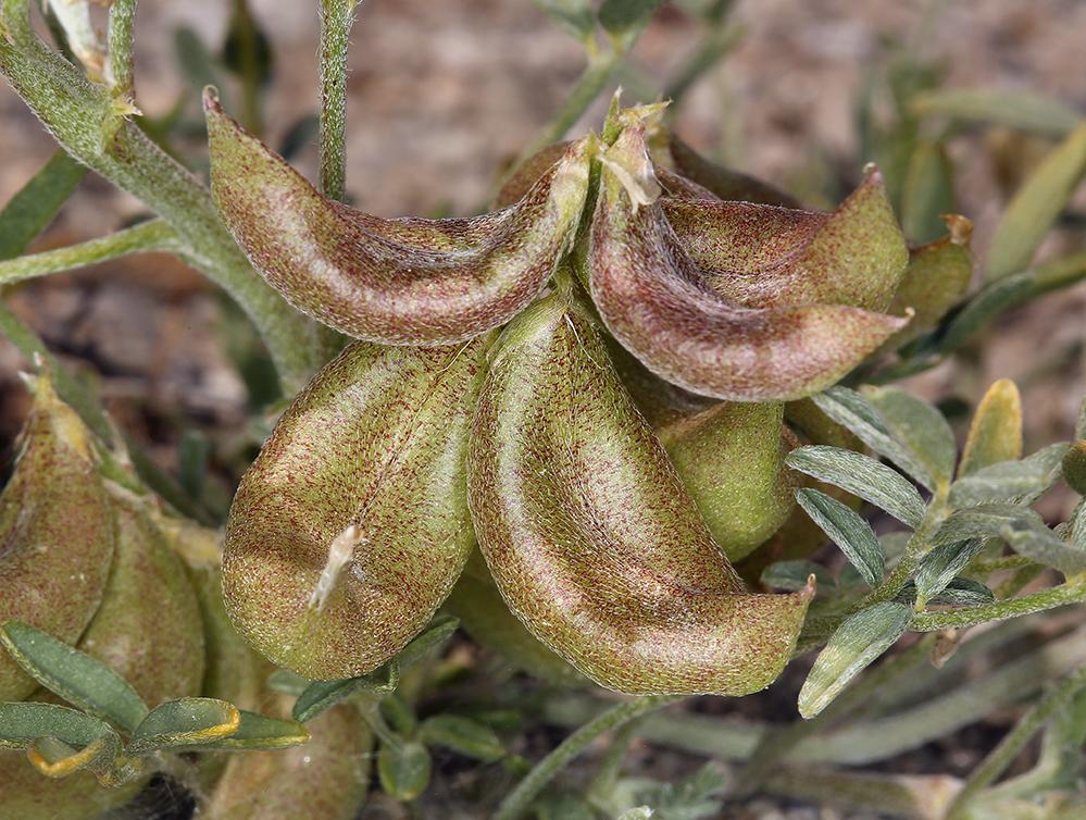 Astragalus geyeri var. geyeri