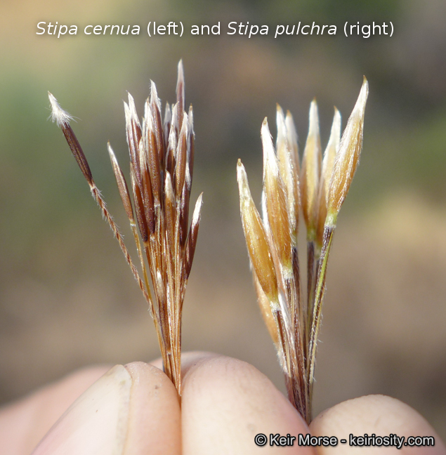 Stipa pulchra