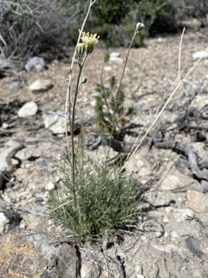 Hymenopappus filifolius var. eriopodus