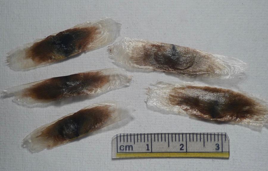Macfadyena unguis-cati