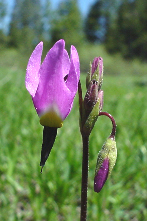 Dodecatheon jeffreyi