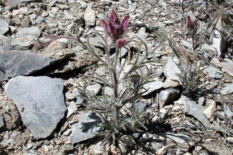 Cordylanthus kingii ssp. helleri