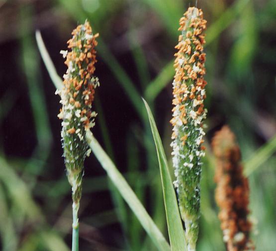 Alopecurus aequalis var. sonomensis
