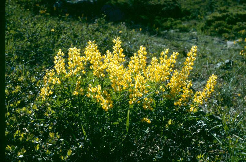 Lupinus croceus