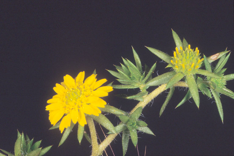Hemizonia pungens ssp. pungens