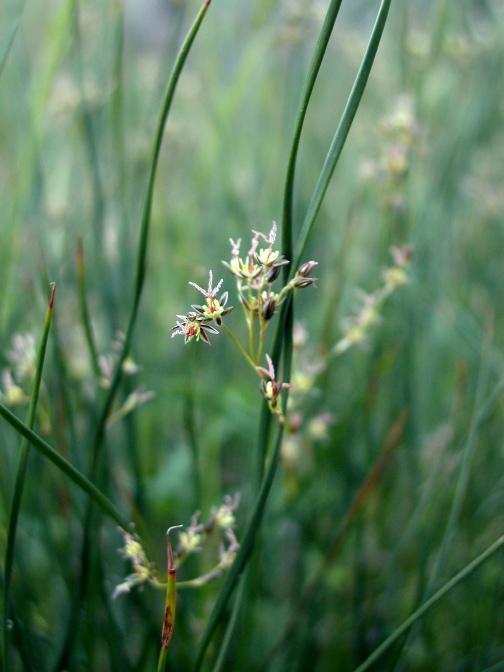 Juncus mexicanus