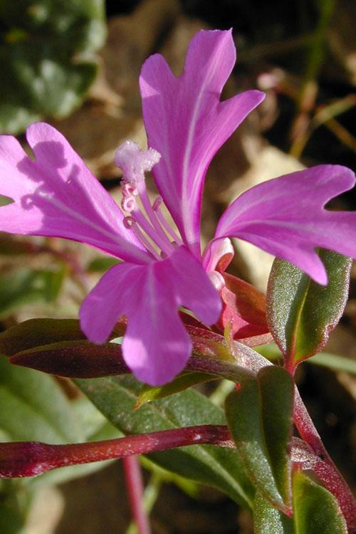 Clarkia concinna ssp. raichei