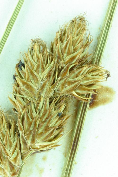 Carex ovalis