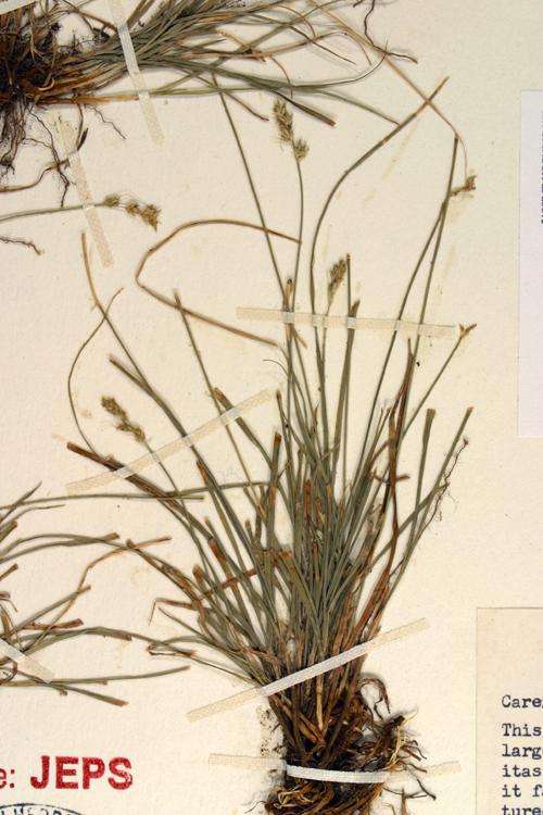 Calphotos Carex Texensis