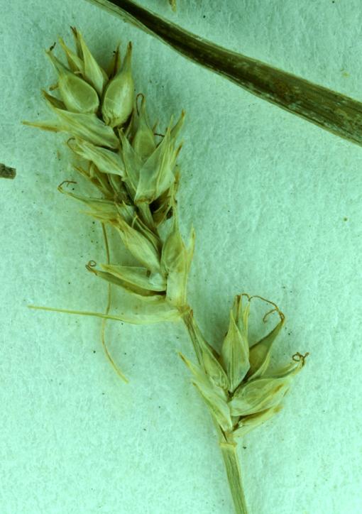 Carex Retroflexa Var Texensis Calflora