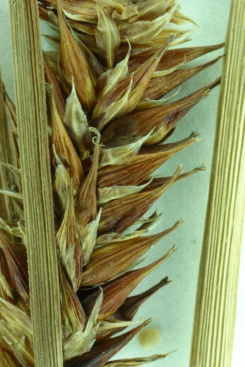 Carex exsiccata