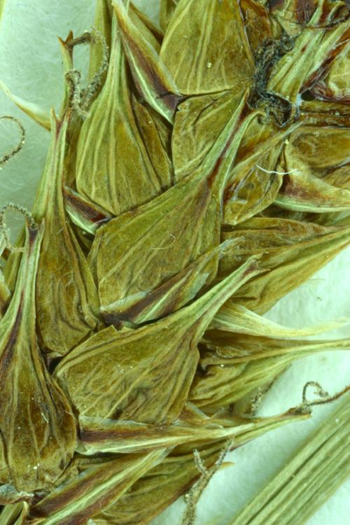 Carex vesicaria var. vesicaria