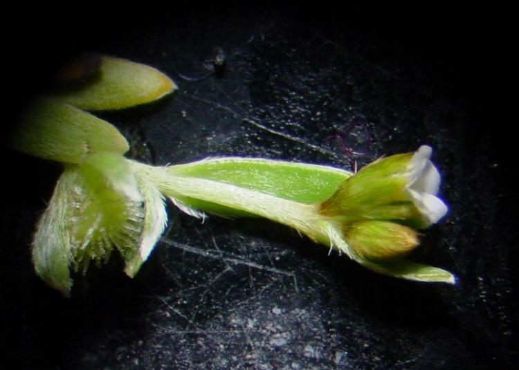 Plagiobothrys acanthocarpus