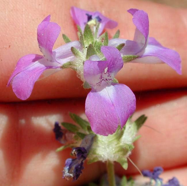 Collinsia concolor