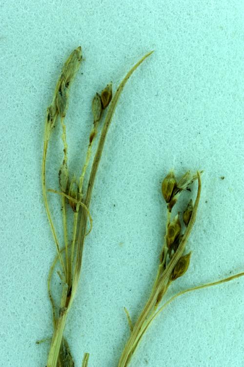 Carex tiogana