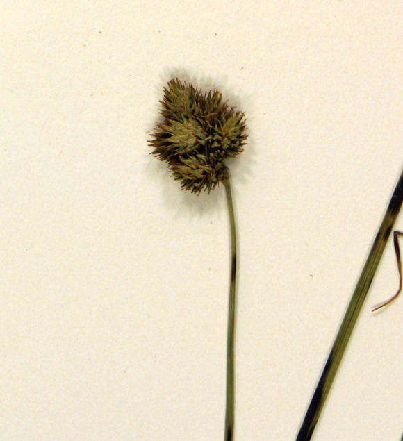 Carex scoparia