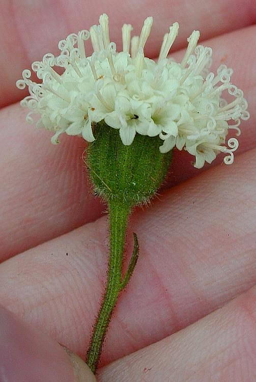 Chaenactis artemisiifolia