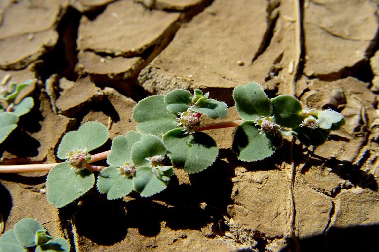 Euphorbia hooveri