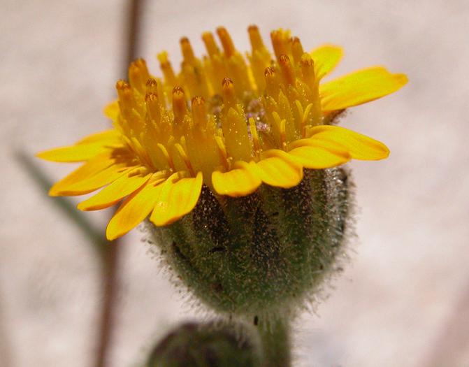 Hulsea vestita ssp. gabrielensis