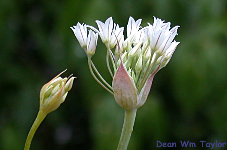 Allium jepsonii image