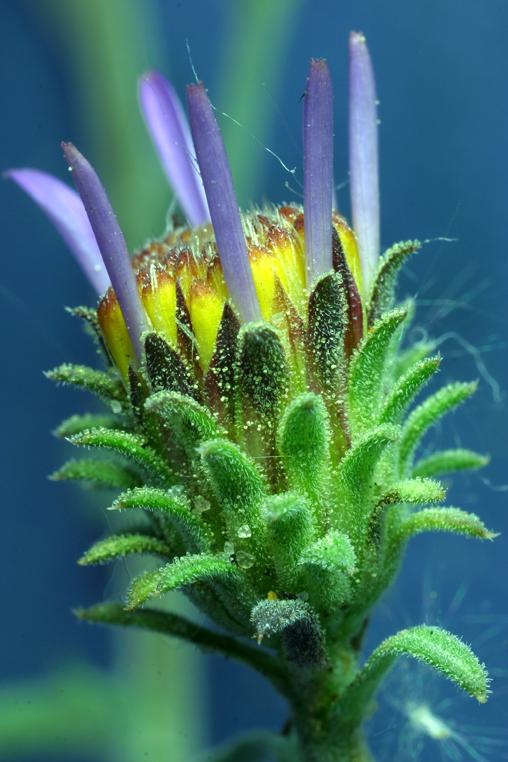Dieteria canescens var. shastensis