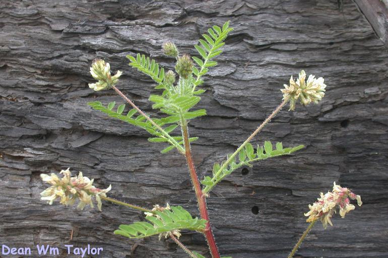 Astragalus agnicidus image