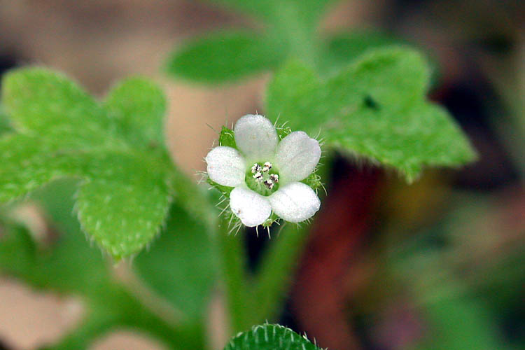 Nemophila parviflora var. austiniae