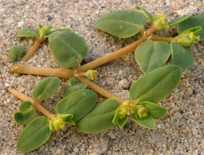 Euphorbia ocellata