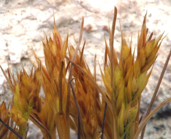 Festuca octoflora