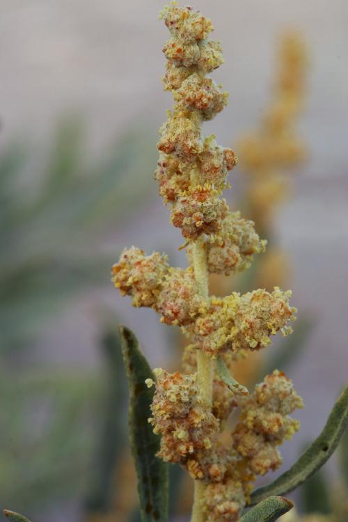 Atriplex polycarpa