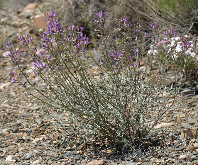 Astragalus serenoi var. shockleyi