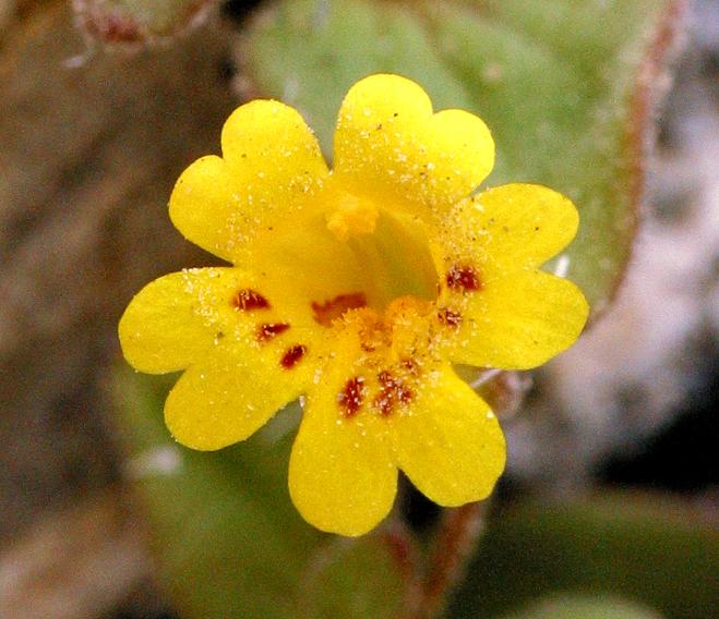 Mimulus rubellus