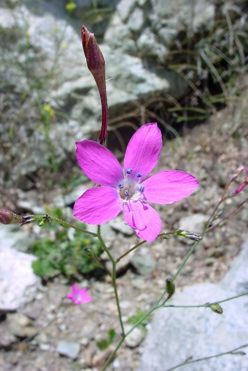 Gilia splendens ssp. grantii