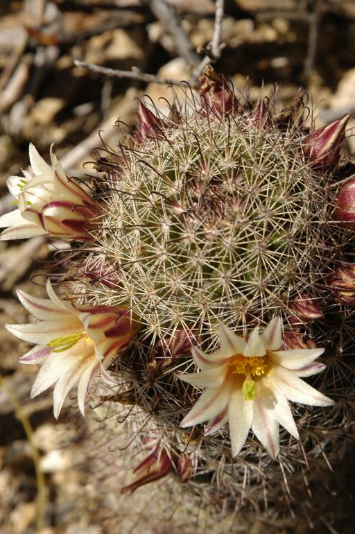Mammillaria dioica