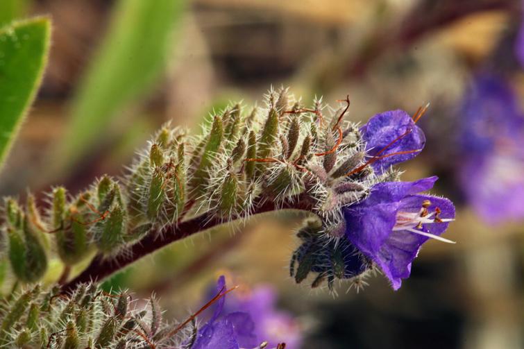 Phacelia humilis