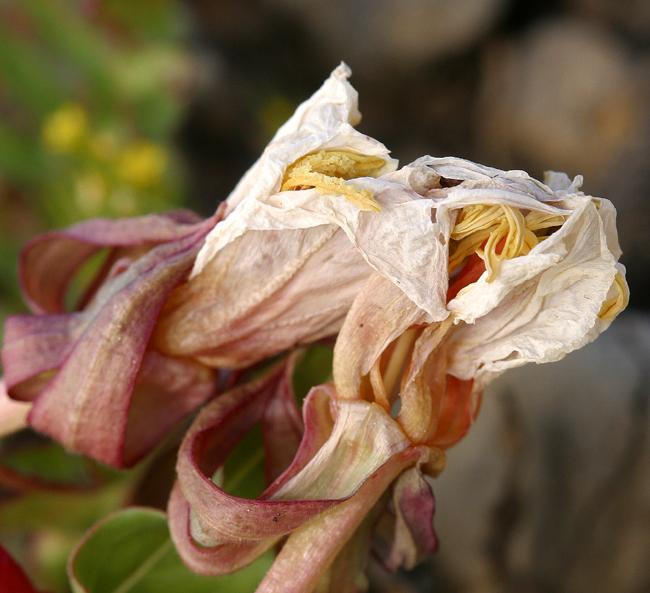 Oenothera flava