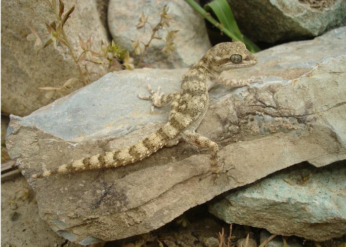 Колючехвостый геккон (Cyrtopodion spinicauda, Alsophylax spinicauda), Фото фотография рептилии ящерицы