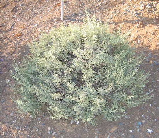 Artemisia nesiotica