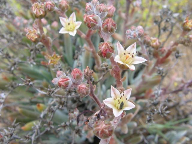 Dudleya attenuata ssp. orcuttii