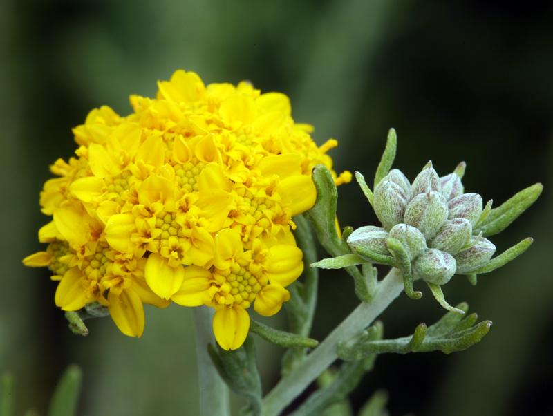 Eriophyllum confertiflorum var. confertiflorum