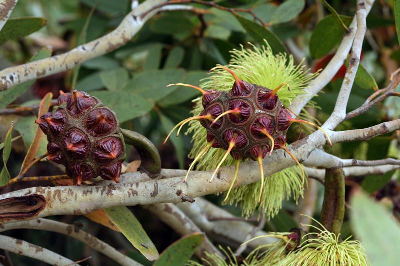 Eucalyptus conferruminata