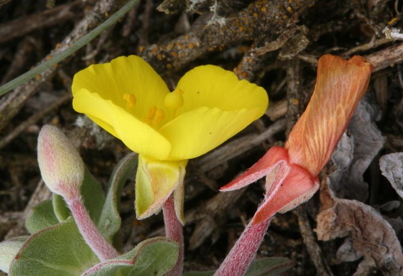 Camissonia cheiranthifolia ssp. cheiranthifolia