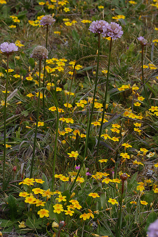 Linanthus croceus