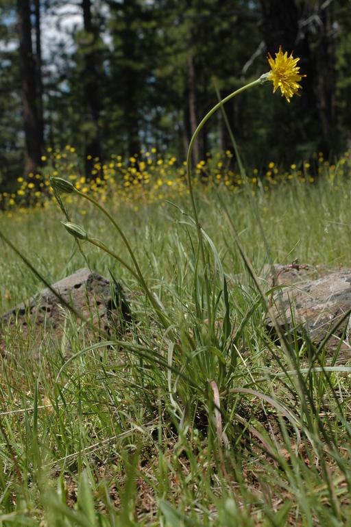 Microseris laciniata ssp. laciniata