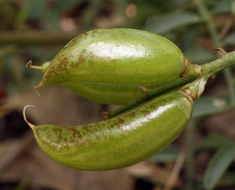 Astragalus webberi