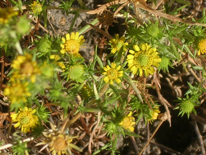 Hemizonia pungens ssp. laevis