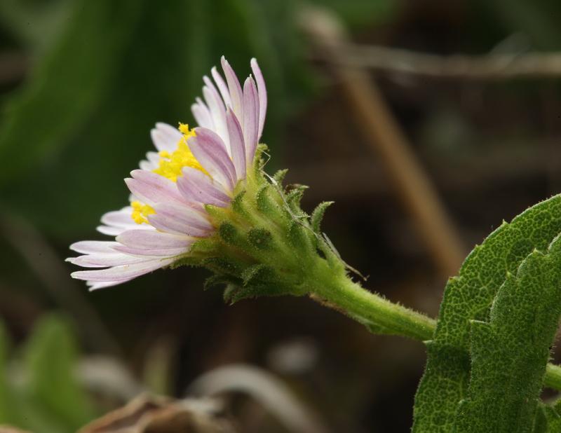 Lessingia filaginifolia var. filaginifolia