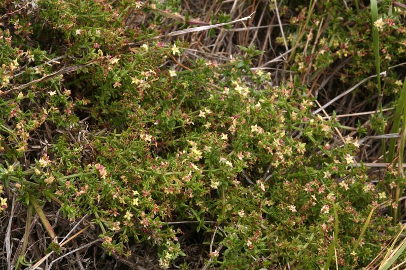 Galium nuttallii ssp. insulare