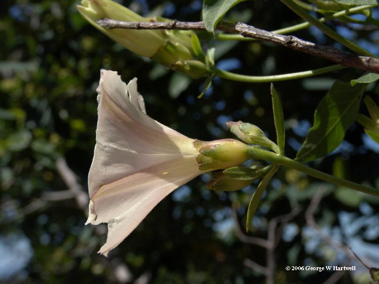 Calystegia occidentalis