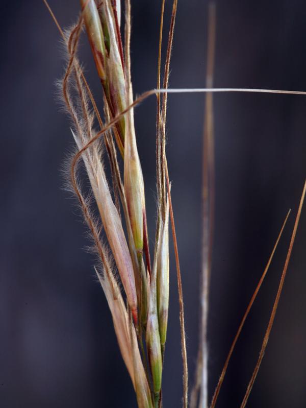 Stipa occidentalis var. californica